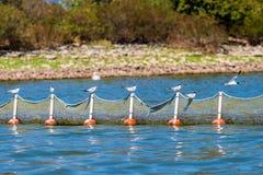 在一个捕鱼网的Whiskered燕鸥在Kerkini湖,希腊在9月 库存照片