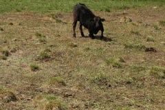 在一个放牧地带的一头母牛意大利山的在一个晴天 库存照片