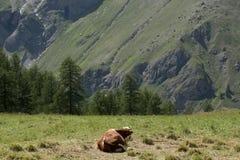 在一个放牧地带的一头母牛意大利山的在一个晴天 免版税图库摄影