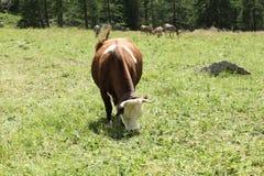 在一个放牧地带的一头母牛意大利山的在一个晴天 免版税库存照片