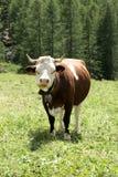 在一个放牧地带的一头母牛意大利山的在一个晴天 库存图片