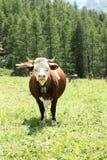 在一个放牧地带的一头母牛意大利山的在一个晴天 免版税库存图片