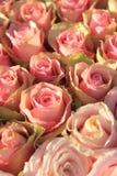 在一个新娘安排的桃红色玫瑰 库存照片