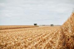 在一个新近地被收获的玉米领域的粗砺的发茬 免版税图库摄影
