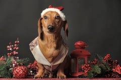 在一个新年的盖帽的美丽的达克斯猎犬 库存照片