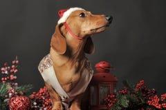 在一个新年的盖帽的美丽的达克斯猎犬 免版税库存照片