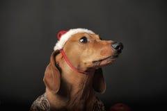 在一个新年的盖帽的美丽的达克斯猎犬 库存图片