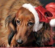 在一个新年的盖帽的美丽的达克斯猎犬 图库摄影