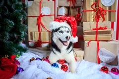 在一个新年的盖帽的西伯利亚爱斯基摩人在圣诞树附近 免版税库存照片