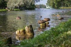 在一个明亮的夏日,野鸭群在一个湖的在城市停放 免版税库存照片