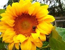 在一个明亮的黄色大向日葵在庭院在一个夏日蜂或土蜂坐并且吃花蜜 库存图片