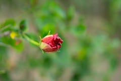 在一个春季在一个植物园,图象的一棵美丽的红色木槿花蕾在选择聚焦 免版税库存图片
