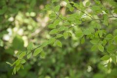 在一个春日的绿色叶子 免版税图库摄影