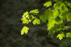 在一个春日的绿色叶子 库存照片