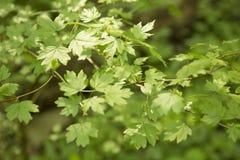 在一个春日的绿色叶子 免版税库存图片
