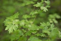 在一个春日的绿色叶子 图库摄影