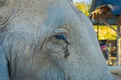 在一个晴天期间,关闭在一头巨大的女性大象的眼睛的选择聚焦,在一个密林圣所在清迈 免版税库存图片