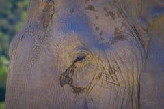 在一个晴天期间,关闭在一头巨大的女性大象的眼睛的选择聚焦,在一个密林圣所在清迈 库存图片