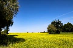 在一个晴朗的夏日期间,与开花的黄色油菜的油菜籽领域开花在树中的类芸苔 图库摄影