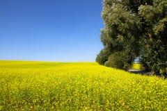 在一个晴朗的夏日期间,与开花的黄色油菜的油菜籽领域开花类芸苔和树在框架一边 图库摄影