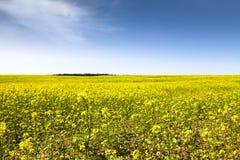 在一个晴朗的夏日期间,与开花的黄色油菜的油菜籽领域开花类芸苔 免版税图库摄影