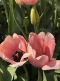 开花的桃红色郁金香 免版税库存照片