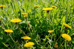 在一个晴朗的草甸的黄色蒲公英 免版税库存照片