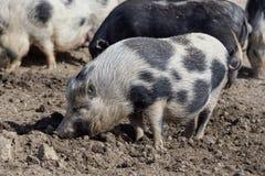在一个有机农场的小猪 图库摄影