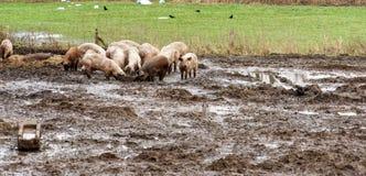 在一个有机农场的幸运的猪泥,自由赛跑的和没有一狭窄稳定,有机可贵和健康 库存图片