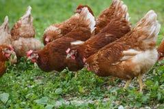 在一个有机农场的自由放养的母鸡鸡 免版税图库摄影