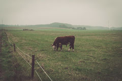 在一个有薄雾的乡下风景的赫里福德母牛 免版税库存照片