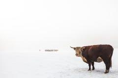 在一个有雾的空白冬天场面的高地牛 免版税库存照片