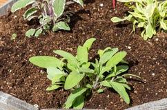 在一个木容器增长的草本植物 免版税图库摄影