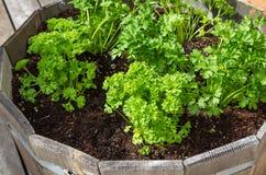 在一个木容器增长的草本植物 免版税库存图片