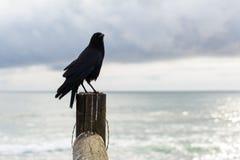 在一个木岗位栖息的黑鸟 免版税图库摄影