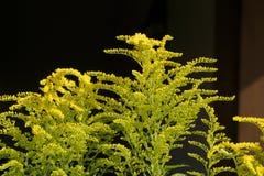 在一个木房子的背景的含羞草金毛茛明亮的灌木 库存照片