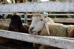 在一个木摊位的白羊 库存图片