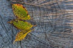 在一个木板的五颜六色的秋叶 库存照片