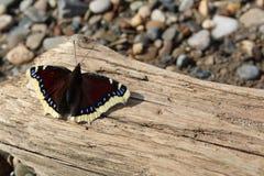 在一个木板的美丽的棕色蝴蝶在与沙子和石渣的岸 免版税库存图片