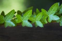 在一个木树桩的豪华的绿色共同的常春藤 库存照片