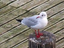 在一个木桥的海鸥在southport 免版税库存照片