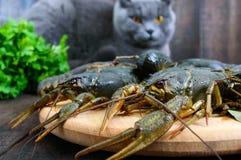 在一个木盘子的活小龙虾在前景 一只灰色猫看新鲜的抓住 免版税图库摄影