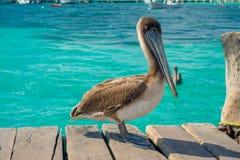 在一个木码头的美丽的棕色鹈鹕在Puerto莫雷洛斯州在热带天堂旁边的加勒比海沿岸航行 库存图片