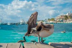 在一个木码头的美丽的棕色鹈鹕在Puerto莫雷洛斯州在热带天堂旁边的加勒比海沿岸航行 免版税库存图片