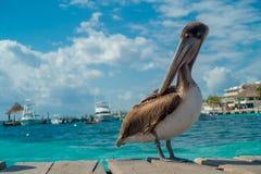 在一个木码头的美丽的棕色鹈鹕在Puerto莫雷洛斯州在热带天堂旁边的加勒比海沿岸航行 免版税库存照片