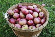 在一个木篮子的红色有机苹果在一个晴天 免版税库存图片