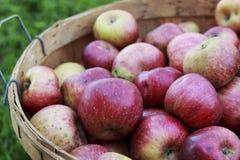 在一个木篮子的红色有机苹果在一个晴天 免版税库存照片