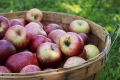 在一个木篮子的红色有机苹果在一个晴天 库存图片