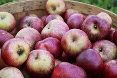 在一个木篮子的红色有机苹果在一个晴天 图库摄影