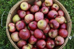 在一个木篮子的红色有机苹果在一个晴天 免版税图库摄影